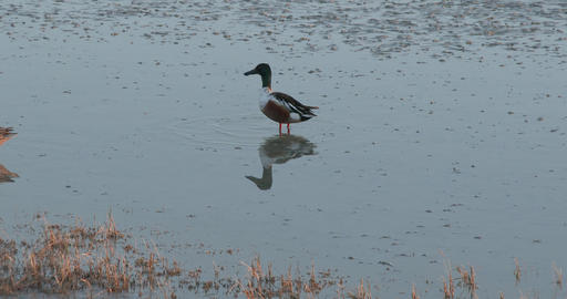 Northern Shoveler walking in the shallow water Live Action
