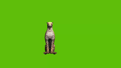 08 animated cheetah with green screen background Animation