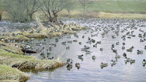 Wintering grounds of Duck (Pintail)00005 Footage