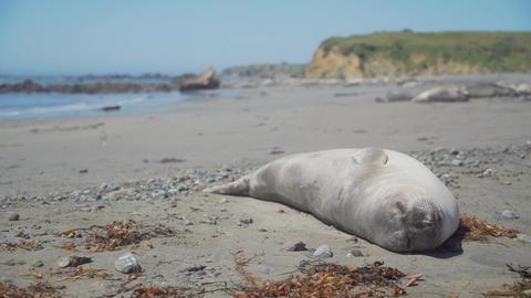 Healthy elephant seal sleeps on the beach near San Simeon California Live Action