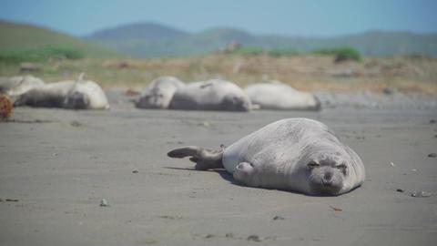 Elephant seal stretches on the beach near San Simeon California Footage