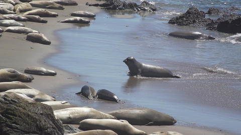 Elephant seal comes ashore near San Simeon California Footage