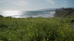 Wild flowers blow in the wind above the ocean by Point Conception State Reserve Footage