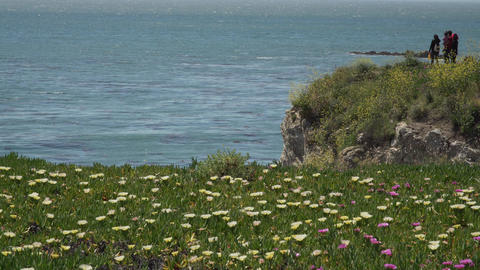 African Mesembryanthemum flowers near Pismo Beach Footage