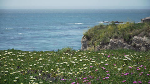 African Mesembryanthemum flowers in the foreground near Pismo Beach Footage