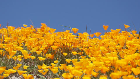 Bright orange California poppies against a bright blue spring sky Footage