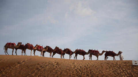 Camels in the Desert Live Action