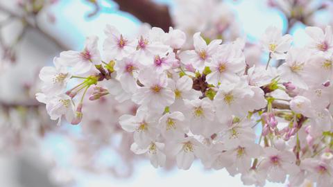 SAKURA Jpanese cherry blossoms in full bloom 06 Archivo