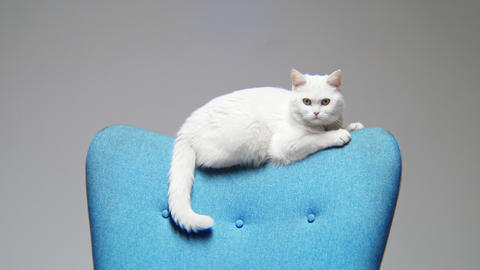 white cat sits and wags tail on blue armchair backrest GIF