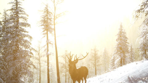Proud Noble Deer Male in Winter Snow Forest Footage