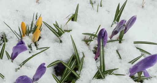Crocus spring flowers Footage