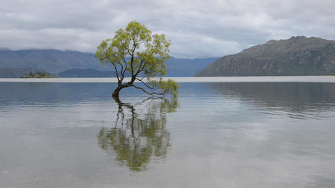 The most famous New Zealand tree is Wanaka Tree Live Action