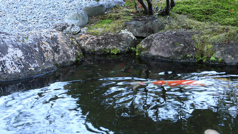 Swimming carp in the pond Footage