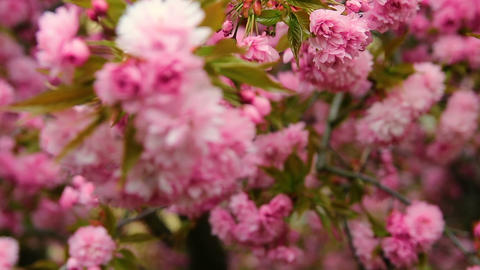 Red cherry tree blossom, detail rack focus Footage