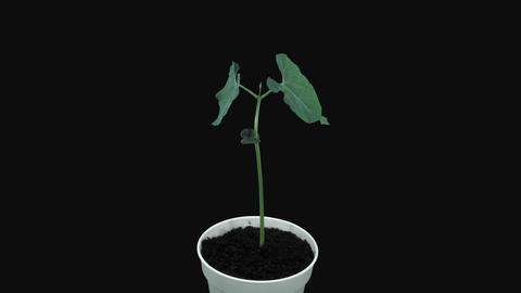 Phototropism effect in growing beans in RGB + ALPHA matte format Footage