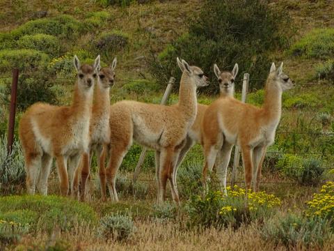 Guanacos in Tierra del Fuego Photo