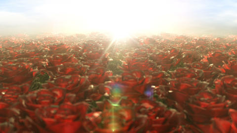 Morning walk in the field of roses, seamless loop Animation