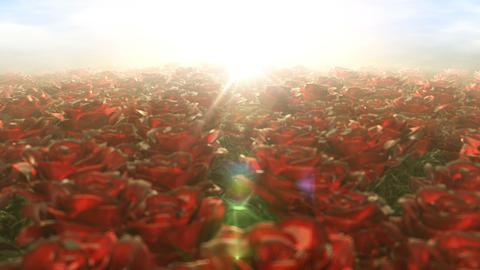 [alt video] Morning walk in the field of roses, seamless loop