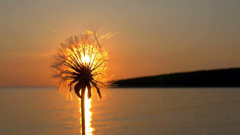 Blowing off the seeds from dandelion plant in the background of sunset Live Action
