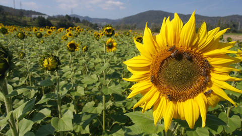 Sunflower with working bees in a sunflower plantation Footage