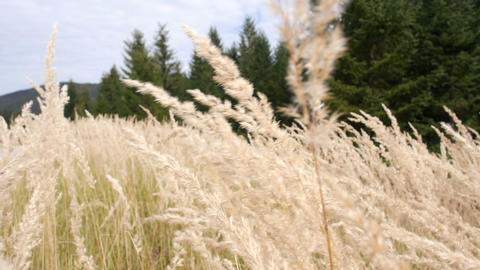 The seed heads of tall grasses moving and swaying in the wind Footage