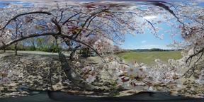 Sakura (Cherry blossoms) VR 360° Photo