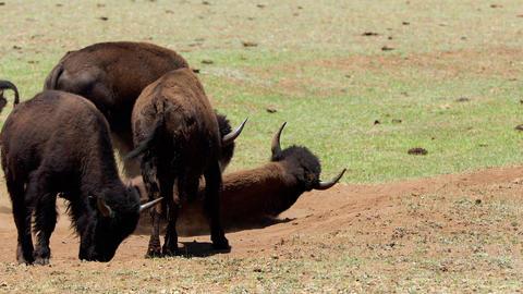 A herd of bison in Arizona Archivo