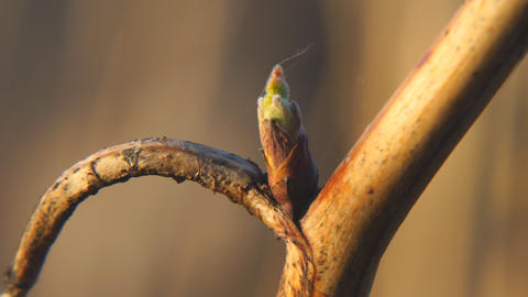 Born leaf from a bud on a raspberry branch Live Action