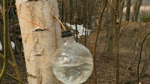 harvesting birch sap Footage