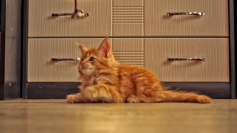 Cute Red Kitten of Maine Coon Footage