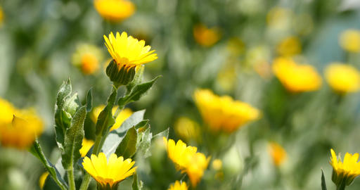 Yellow chamomile flowers in summer breeze Live Action