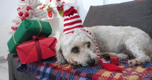 Dog with Christmas hat laying on sofa Live Action