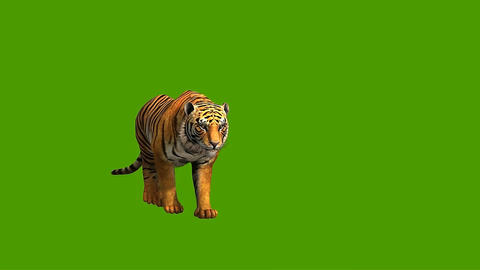 07 3D animated tiger on a green screen Animation