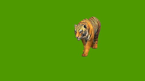 12 3D animated tiger, on a green sceen background Animation