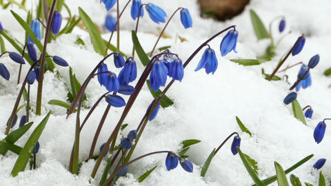 Scilla blue flowers Footage