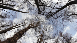 Tall leafless crowns of trees moving in the wind 63 Footage