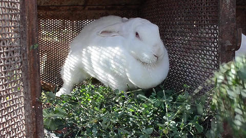 White rabbit bouncing to the beat when the caregiver wants to give him to eat a Footage