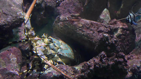 Spiny lobster underwater under a coral reef ledge Footage
