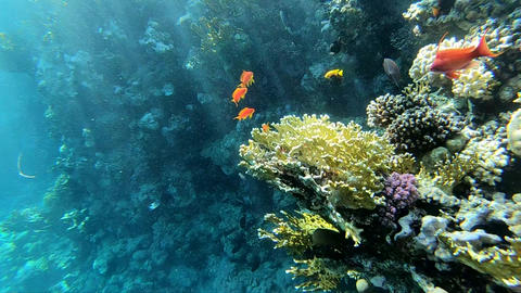 Natural aquarium in Red Sea, colorful fishes near the coral reef in Red Sea Footage