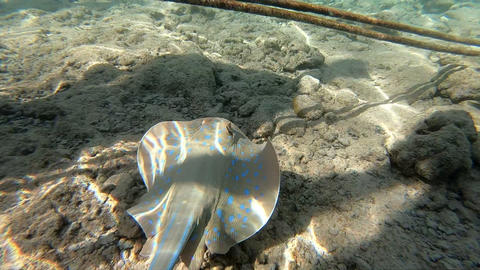 Big beige and blue stingray swims in shallow water near the beach, slow motion Live Action