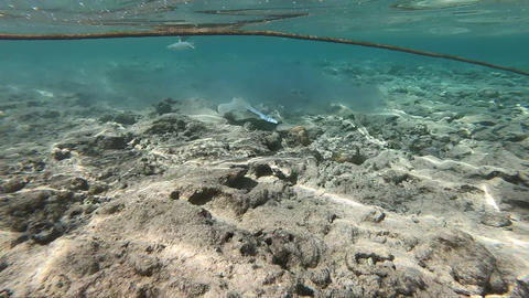 Beige and blue stingray swims in shallow water near the beach, slow motion Footage