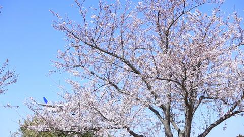 Pass near the cherry tree Archivo