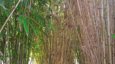 Sun shining through bamboo leaves in bamboo grove forest Live Action