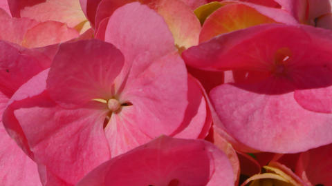 Closeup on pink hydrangea petals in a sunny morning Live Action