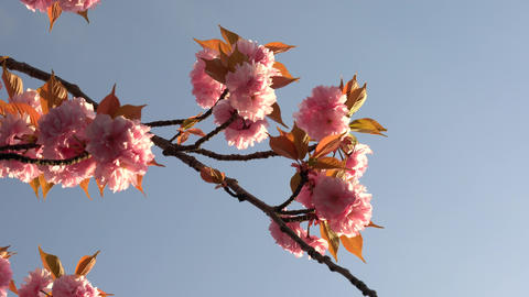 Double-flowered cherry blossoms in full bloom at the sunrise Live Action
