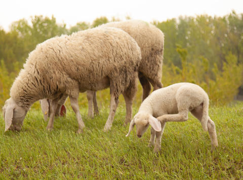 flock of sheep with little lamb Photo