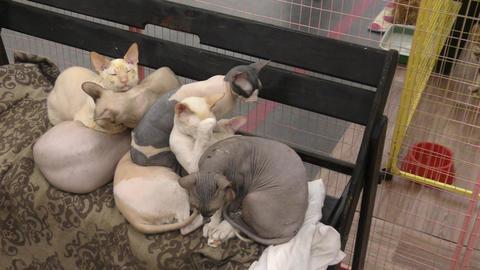 Canadian Sphinx cat Footage