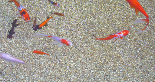 Goldfish Swimming In Pond With Sand Closeup Footage