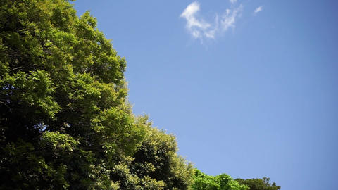 Trees swaying in the blue sky and the wind. 青空と風に揺れる樹木 Footage