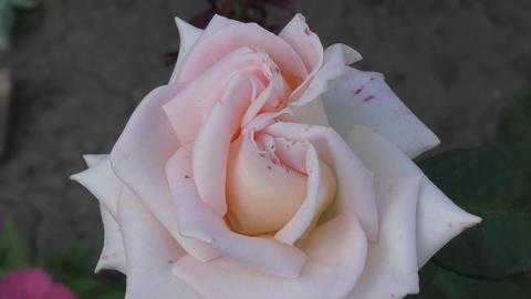 Rose flower in the summer garden Footage